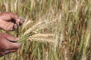 wheatblastfield